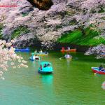 Chidorigafuchi Menjadi Wisata Paling Unik Dan Romantis Di Jepang